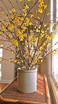 Forsythia forced for early blooms