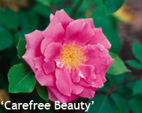 Carefree Beauty Rose