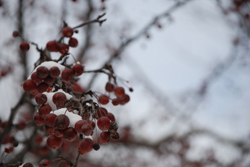 crabapple tree with snow