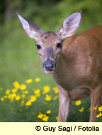 a cute but flower damaging deer