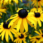 Black-eyed Susan 'Goldsturm'